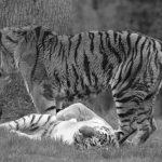 tigers-708590_640-2.jpg