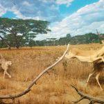 cheetah-1308943_640