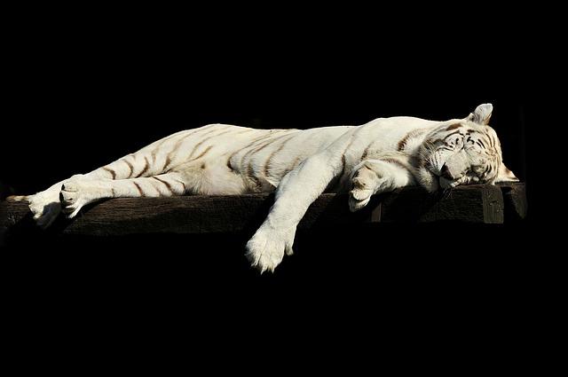 tiger-1285229_640