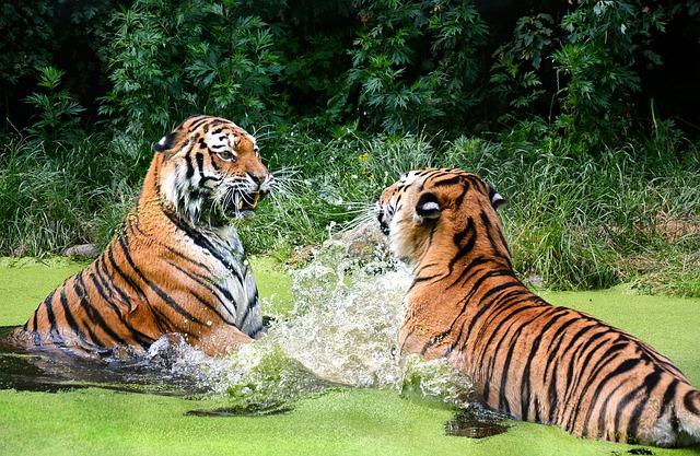 tiger-1537698_640