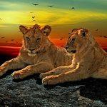 lions-1230870_640