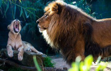 lion-3332729_640