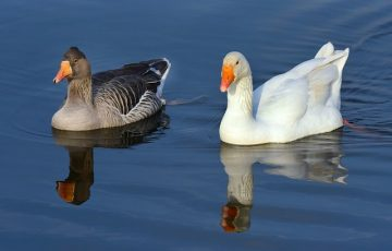 goose-4039499_640