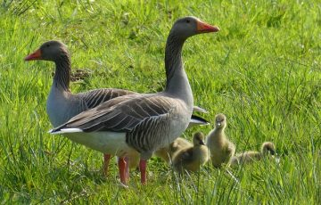 geese-4128803_640