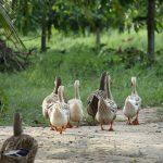 ducks-4230463_640