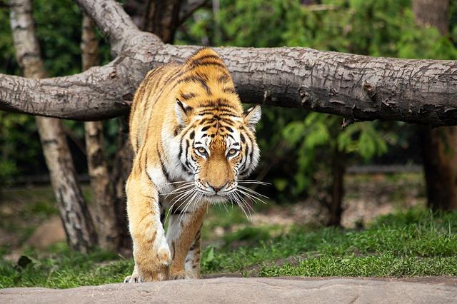 tiger-4266440_640