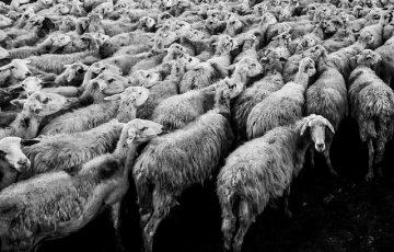 sheep-1148999_640.jpg