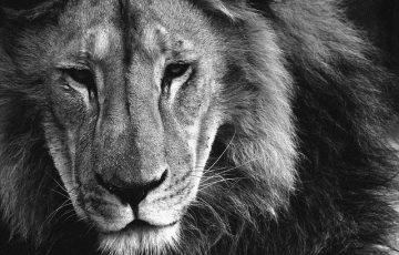 lion-2162169_640