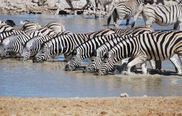 zebra-806302_640