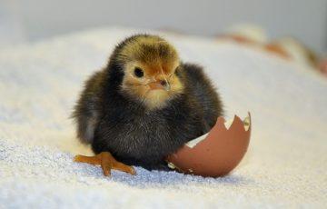 chicks-490957_640