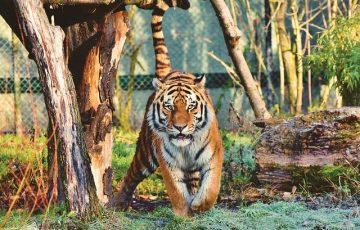 tiger-4114501_640