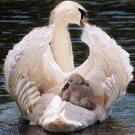 swan-4208564_640